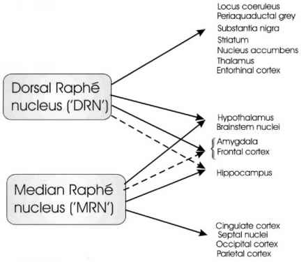 Median Raphe Dorsal Raphe Innervation