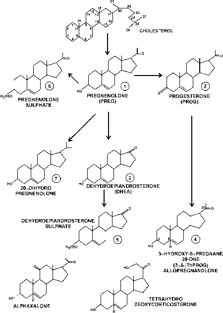 Steroid Synthesis Brain