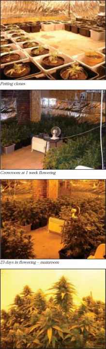 how to grow purple haze