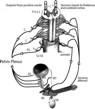 Physiology Of Ejaculation