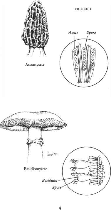 Mushroom Growth Cycle