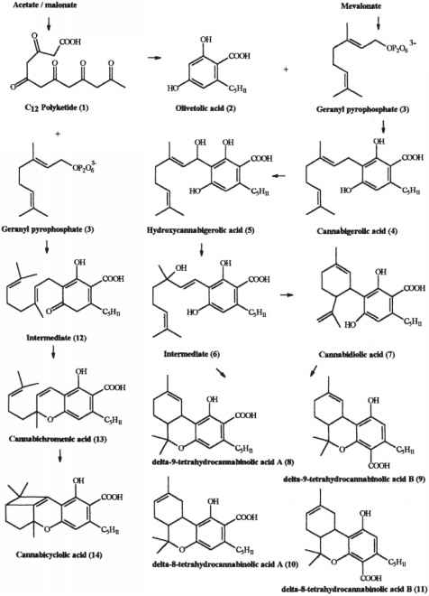 Cannabinerolic Acid Metabolism