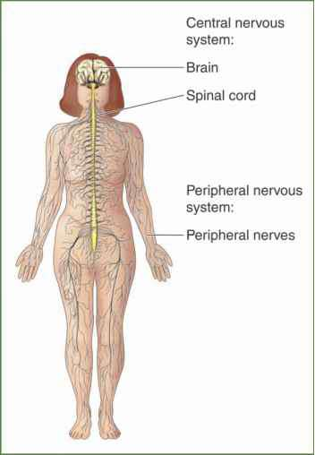 Nervous System Spinal Cord