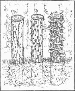 Mushroom Log Cultivation