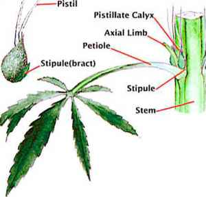 Male Cannabis Plant Parts