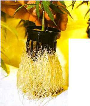 Know B4U Grow - Marijuana Horticuture - Drug Times