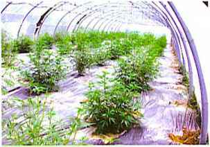 Marijuana Greenhouses