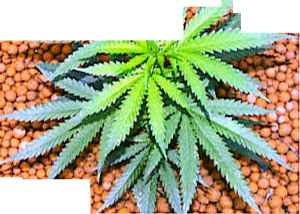 Anthracnose Fungus Marijuana Plants