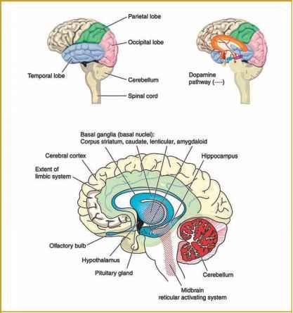 Ritalin and the Human Brain - Ritalin - Drug Times Limbic System Adhd